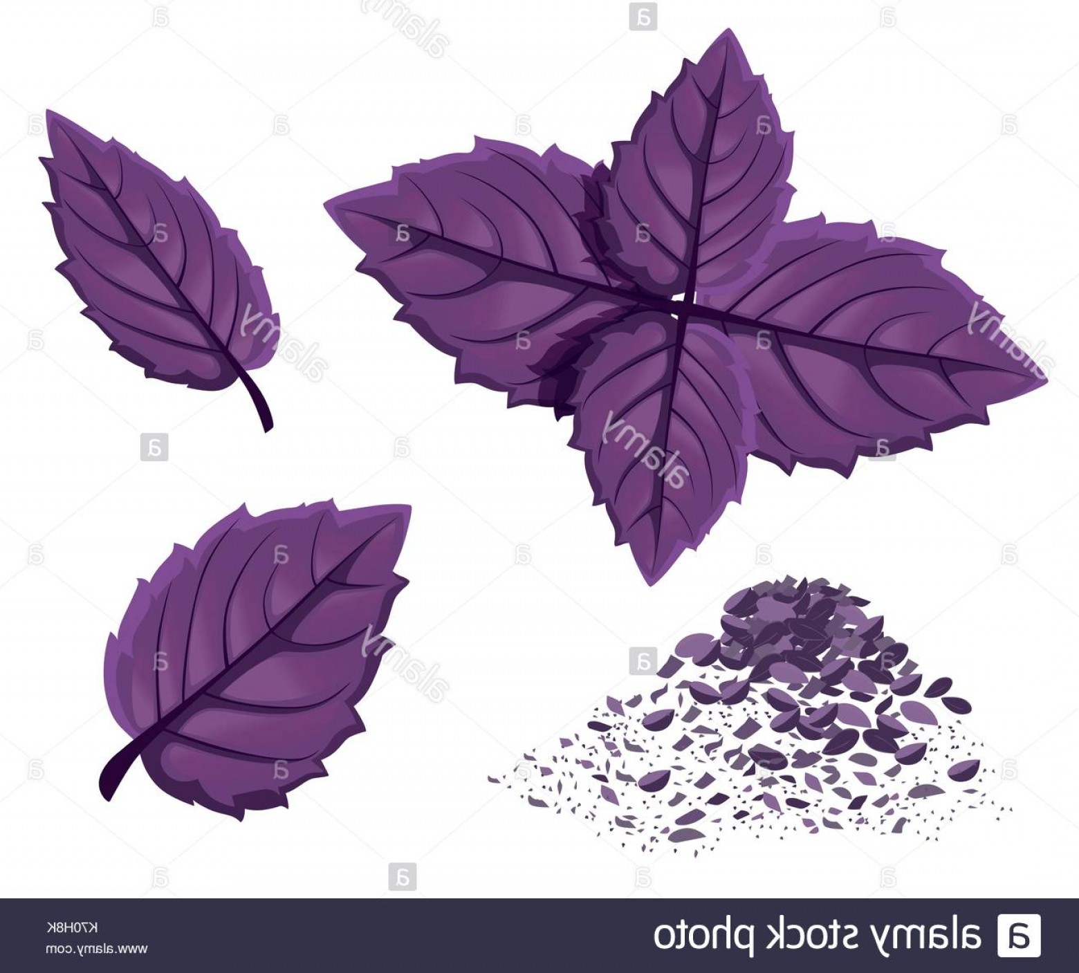 Basil Vector: Green Basil Vector Isolated Spice Herb Leaves Icon Vector Emblem Of Image