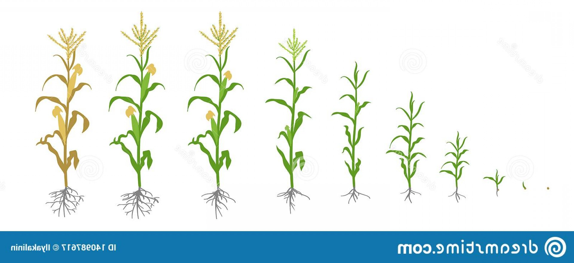 Maize Vector Tree: Growth Stages Maize Plant Corn Phases Vector Illustration Zea Mays Ripening Period Life Cycle Use Fertilizers White Image