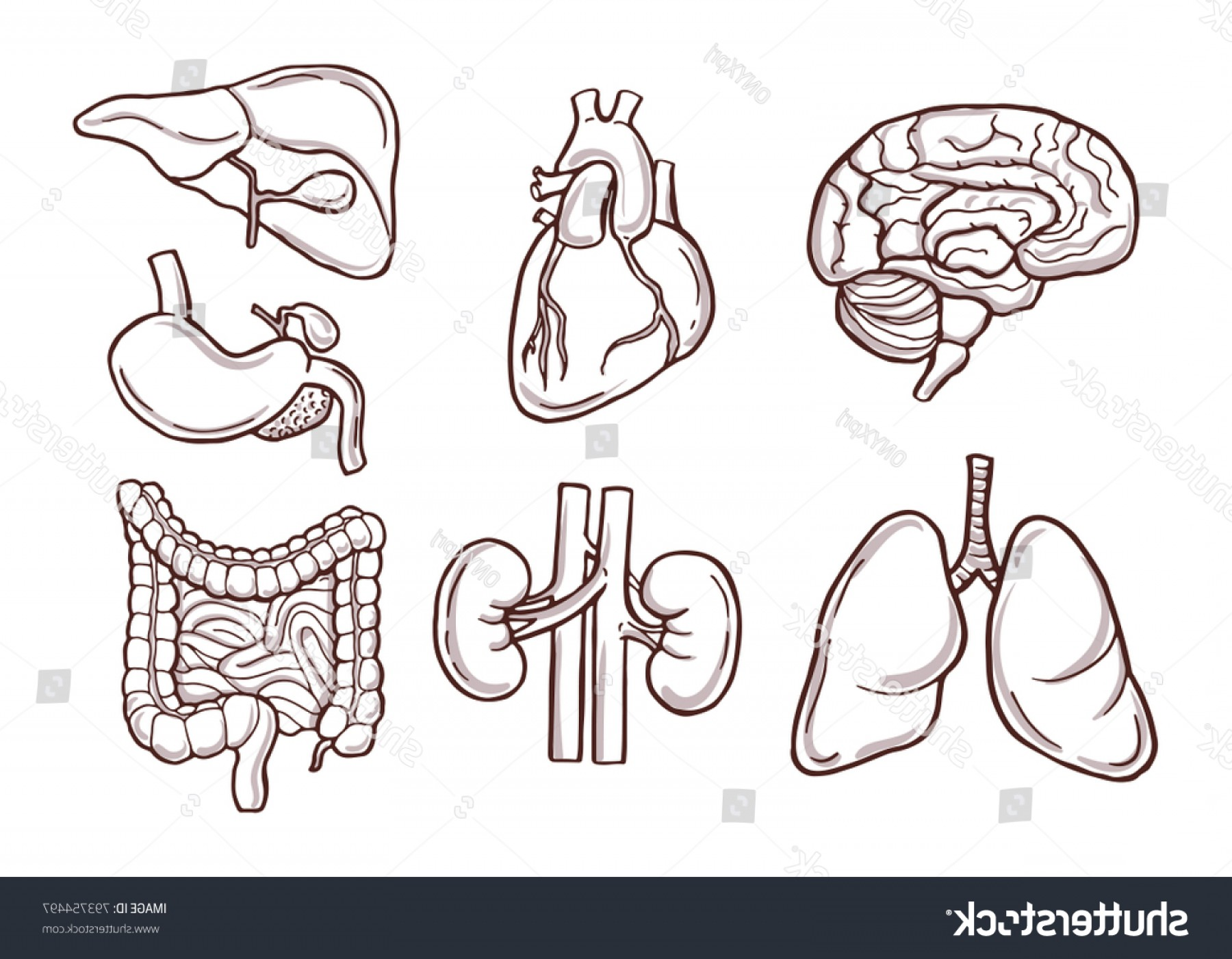 Vector Health Systems Inc: Hand Drawn Illustration Human Organs Medical