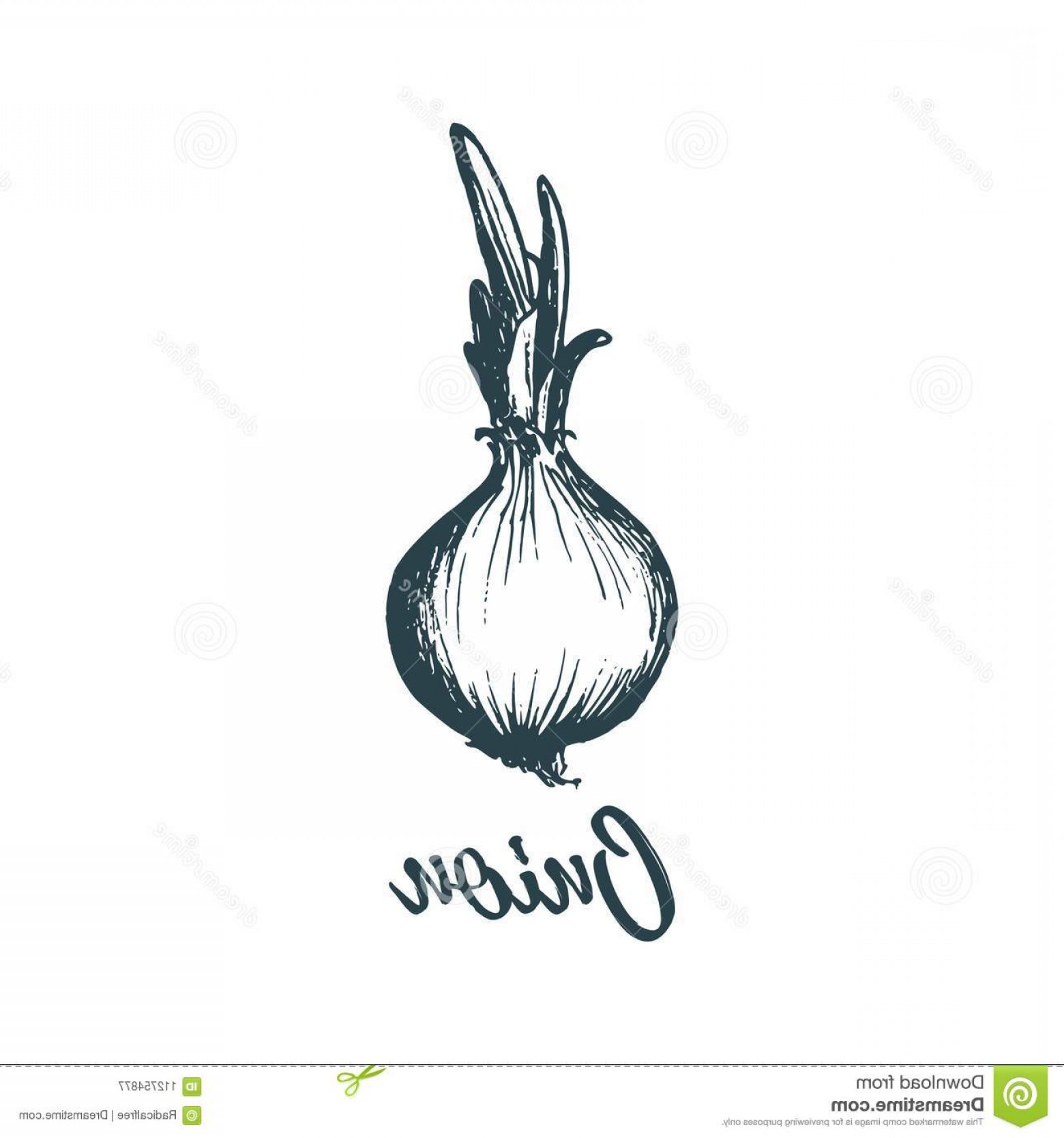 Onion Vector: Hand Drawn Onion Vector Illustration Vegetarian Food Sketch Farm Market Product Hand Drawn Onion Vector Illustration Image