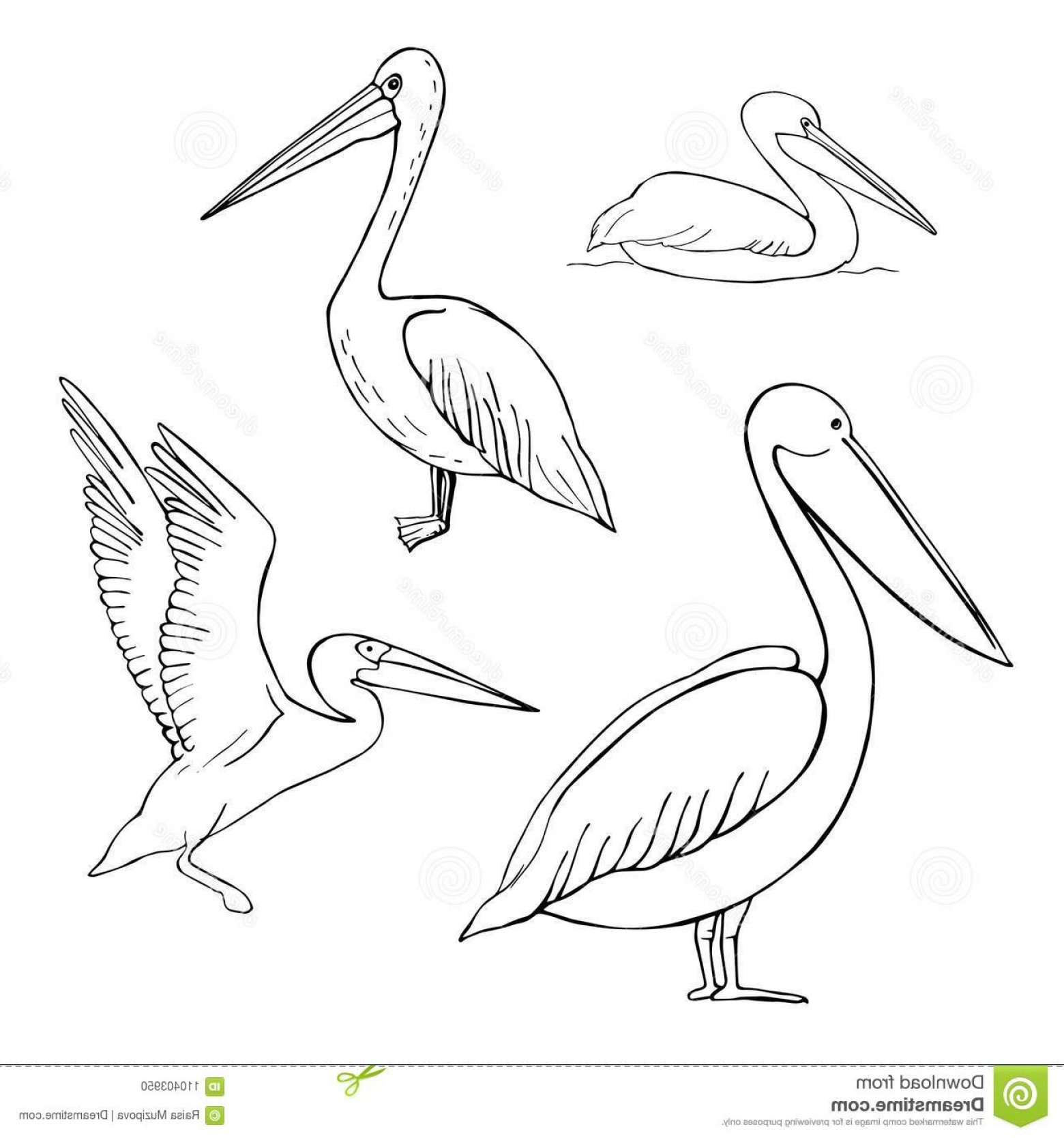 Pelican Vector Wings: Hand Drawn Pelican Line Drawing White Background Vector Sketch Illustration Image