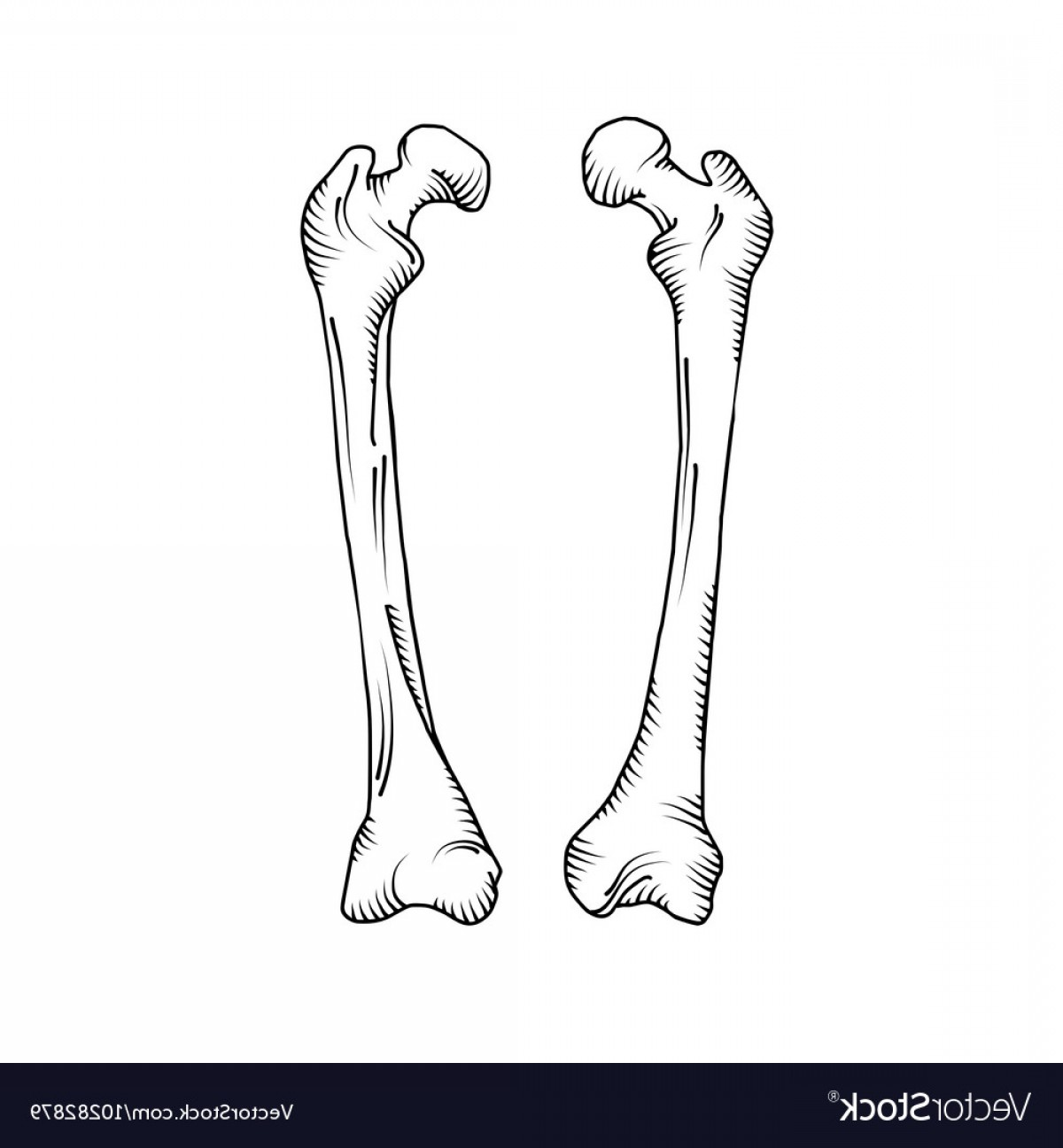 Line Art Human Body Skeleton Labeled Bones Of The Vector: Hand Drawn Realistic Human Bones Vector