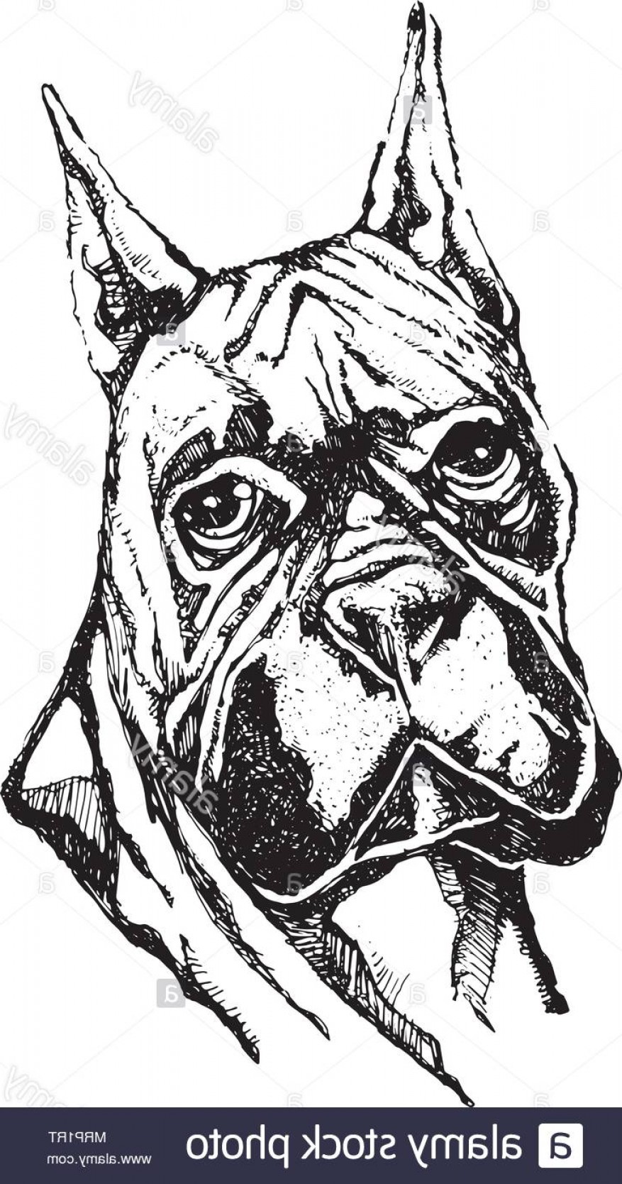 Bpxer Vector Art Happy Dog: Hand Drawn Vector Illustration Or Drawing Of A Boxer Dog Head Image