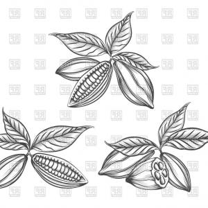 Cacao Vector: Hand Drawn Cacao Beans Vector Clipart