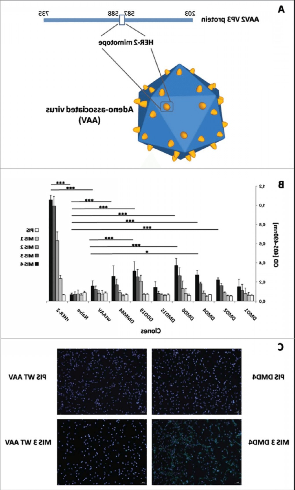 Cloning AAV Vectors: Her Mimotope Aav Model And Immunogenicity Evaluation A Model Of The Aav Vectorfig