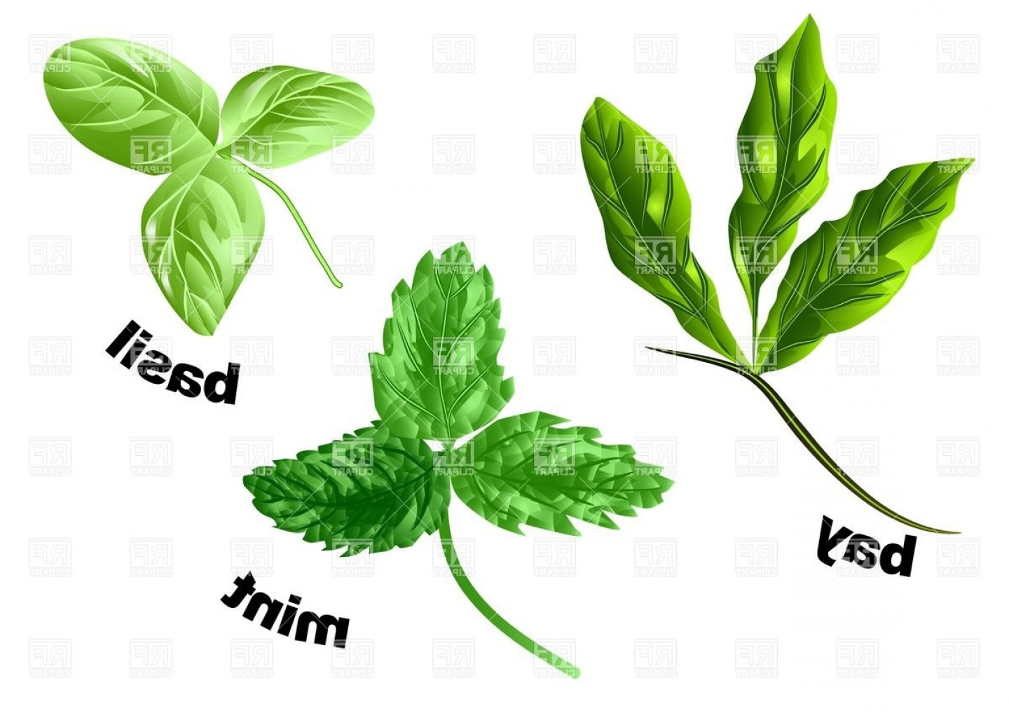 Basil Vector: Herbs Mint Basil And Bay Isolated On A White Vector Clipart
