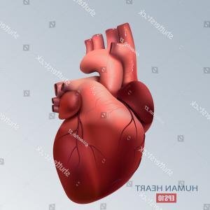 3D Human Heart Vector: Healthy Human Heart Health Medicine Organ