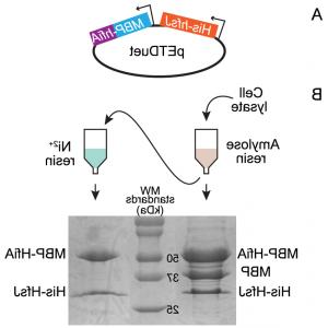 Pet Duet Vector 1: Affinity Purification Of The Bldm Whii Complex N Terminally His Tagged Bldm And Eitherfig
