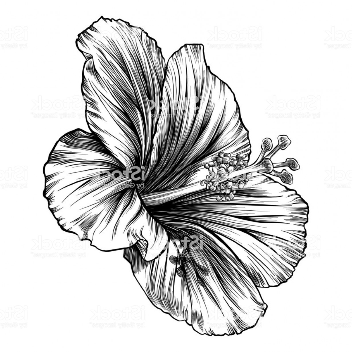 Hawaii State Flower Vector Art: Hibiscus Flower Pen And Ink Vector Drawing Gm