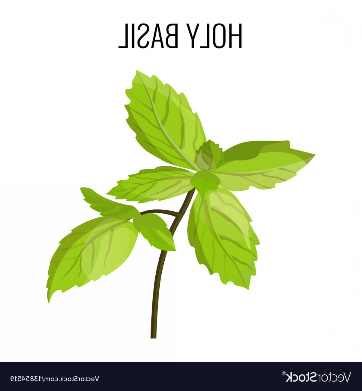 Basil Vector: Holy Basil Isolated Stem With Green Leaves Vector