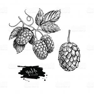 Hops Vector Art: Hop Plant Vector Drawing Illustration Hand Drawn Artistic Beer Gm