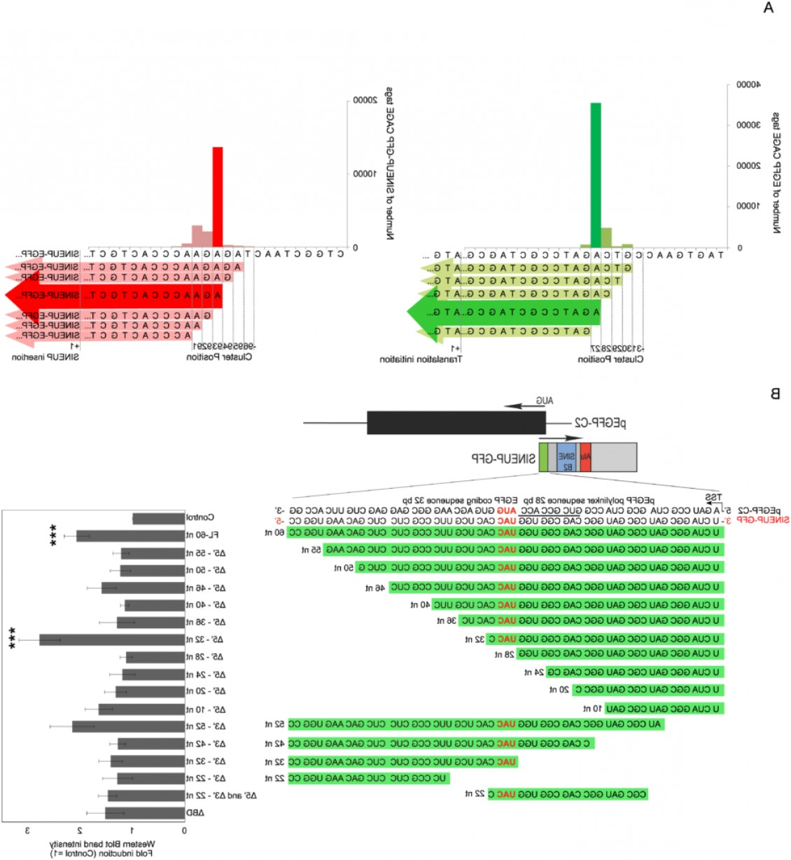 PEGFP Vector Map: Identification Of Functional Features Of Synthetic Sineups Antisense Lncrnas That Specifically Enhance Protein Translation