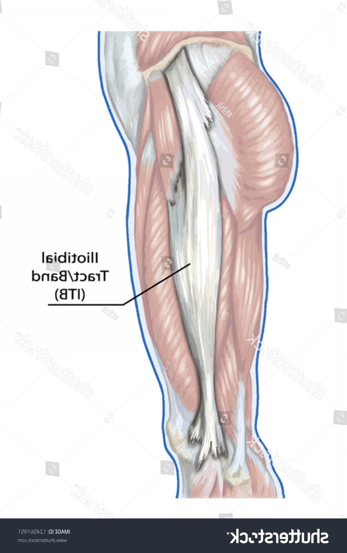 Knee Board Vector: Iliotibial Tract Didactic Board Anatomy Leg