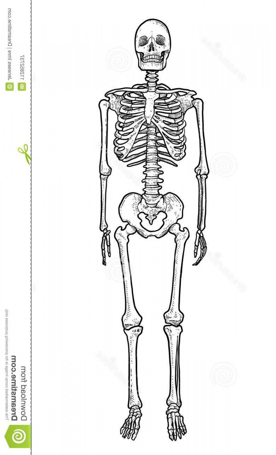 Line Art Human Body Skeleton Labeled Bones Of The Vector: Illustration What Made Ink Pencil Then Was Digitalized Human Skeleton Illustration Drawing Engraving Ink Line Art Vector Image