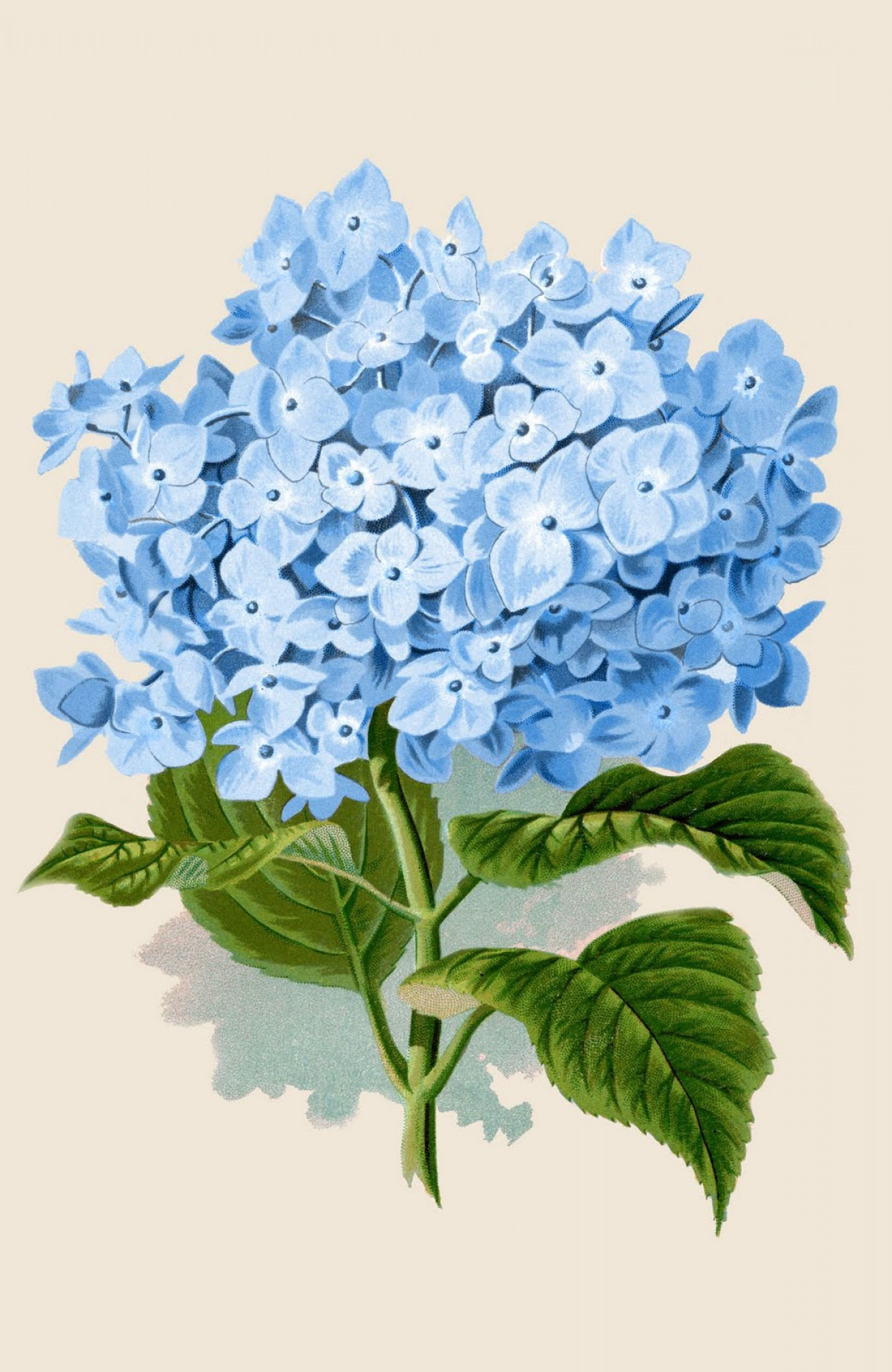 Vector Image Blue Hydrangeas: Instant Art Printable Download Blue Hydrangea Botanical
