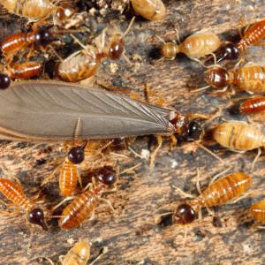 Termites With Wings Vector: Know Your Termite And Prevent An Infestation