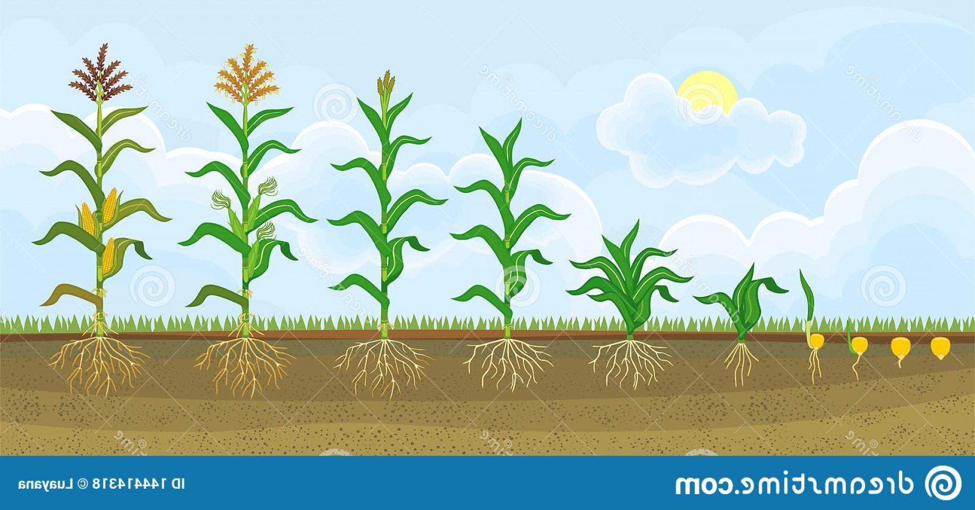 Maize Vector Tree: Life Cycle Corn Maize Plant Growth Stages Seeding To Flowering Fruiting Image