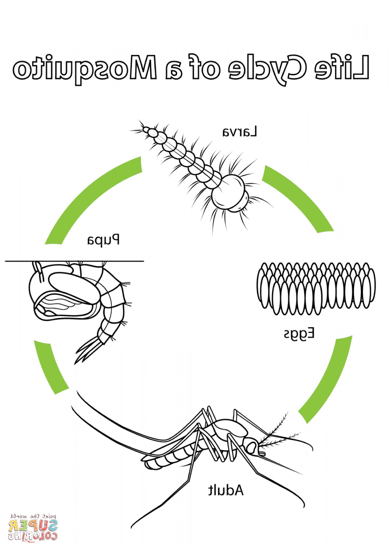 Mosquito Vector Worksheet: Life Cycle Of A Mealworm Worksheet
