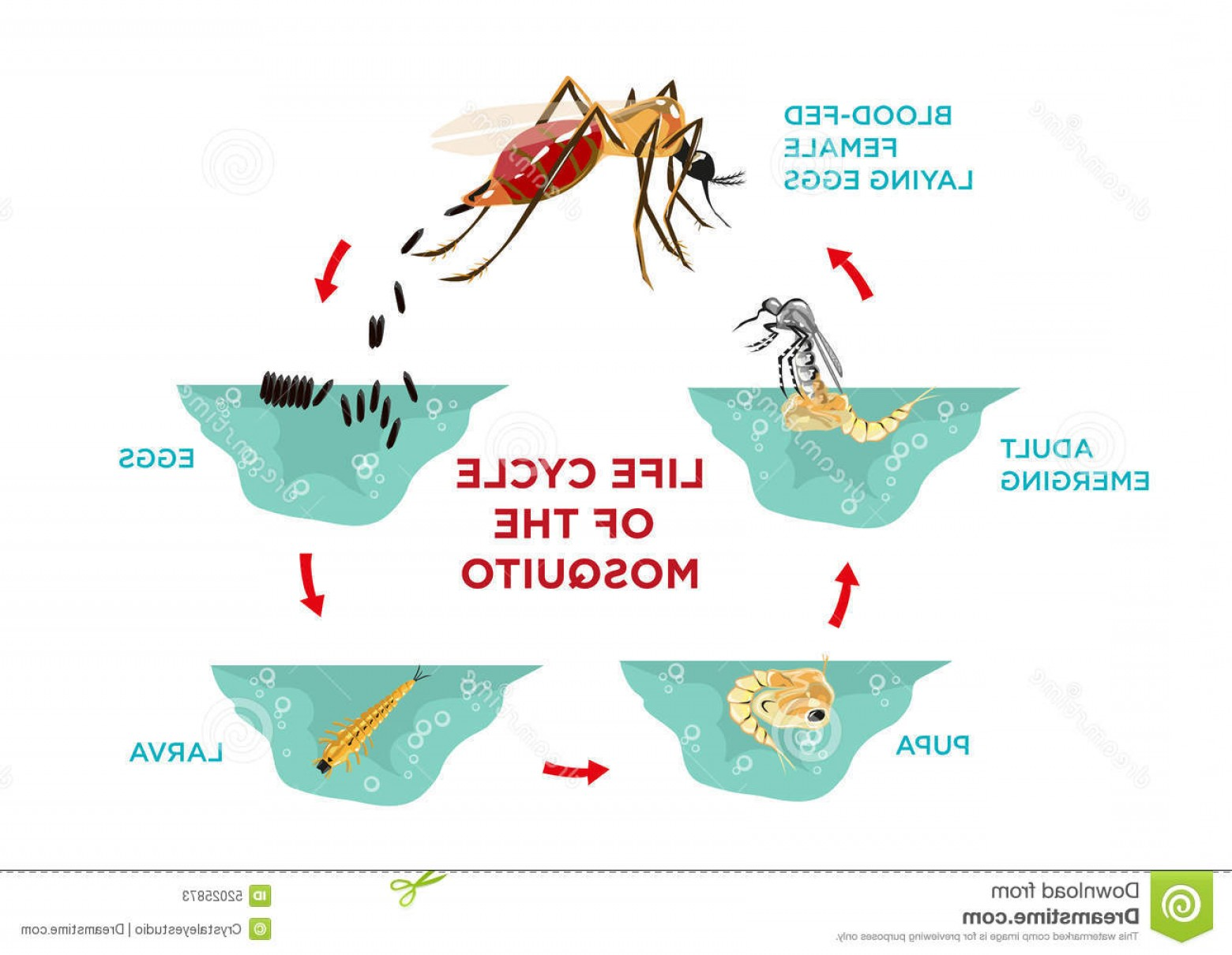 Mosquito Vector Worksheet: Life Cycle Of The Mosquito Illustration