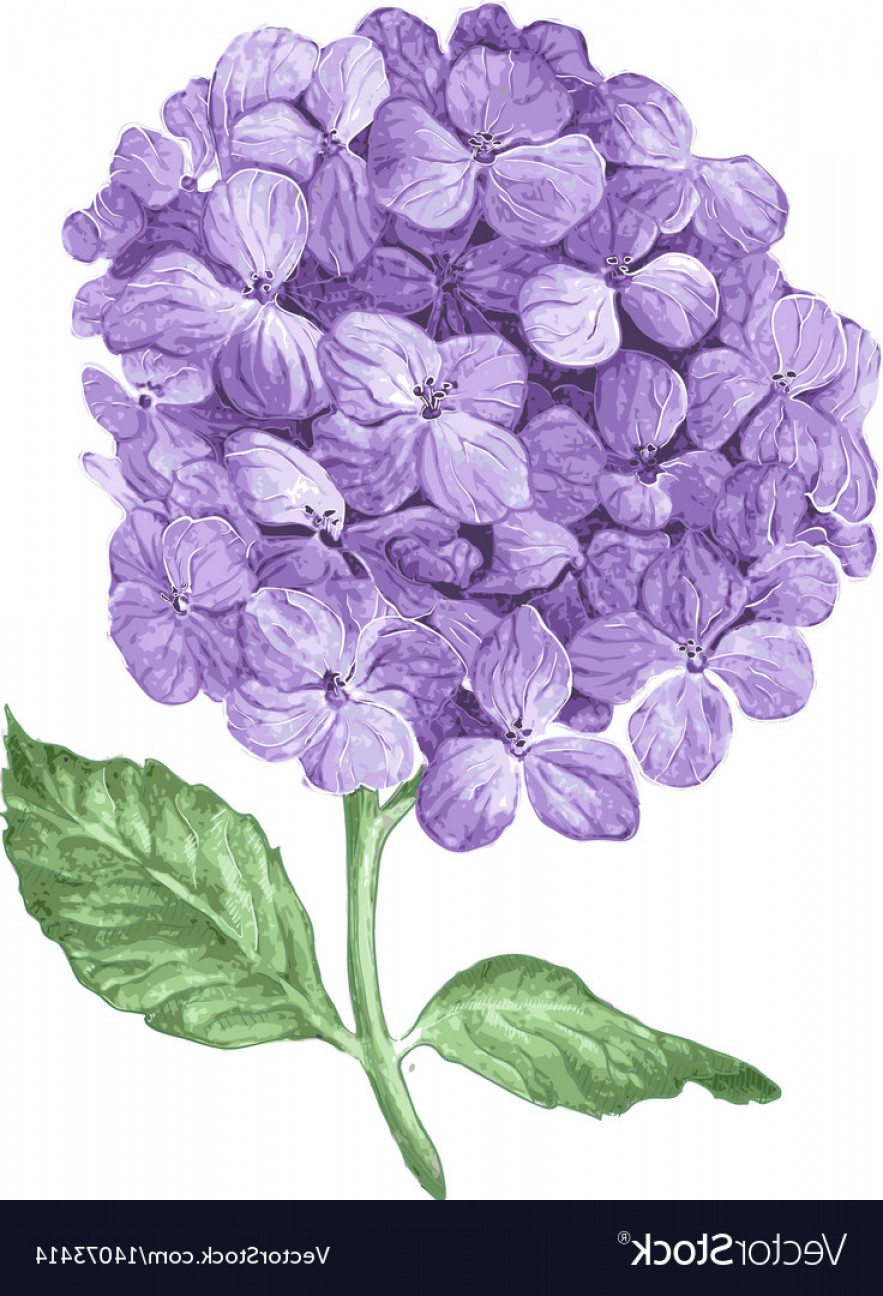 Hydrangea Vector Graphics: Lilac Hydrangea Flowers Isolated On White Vector