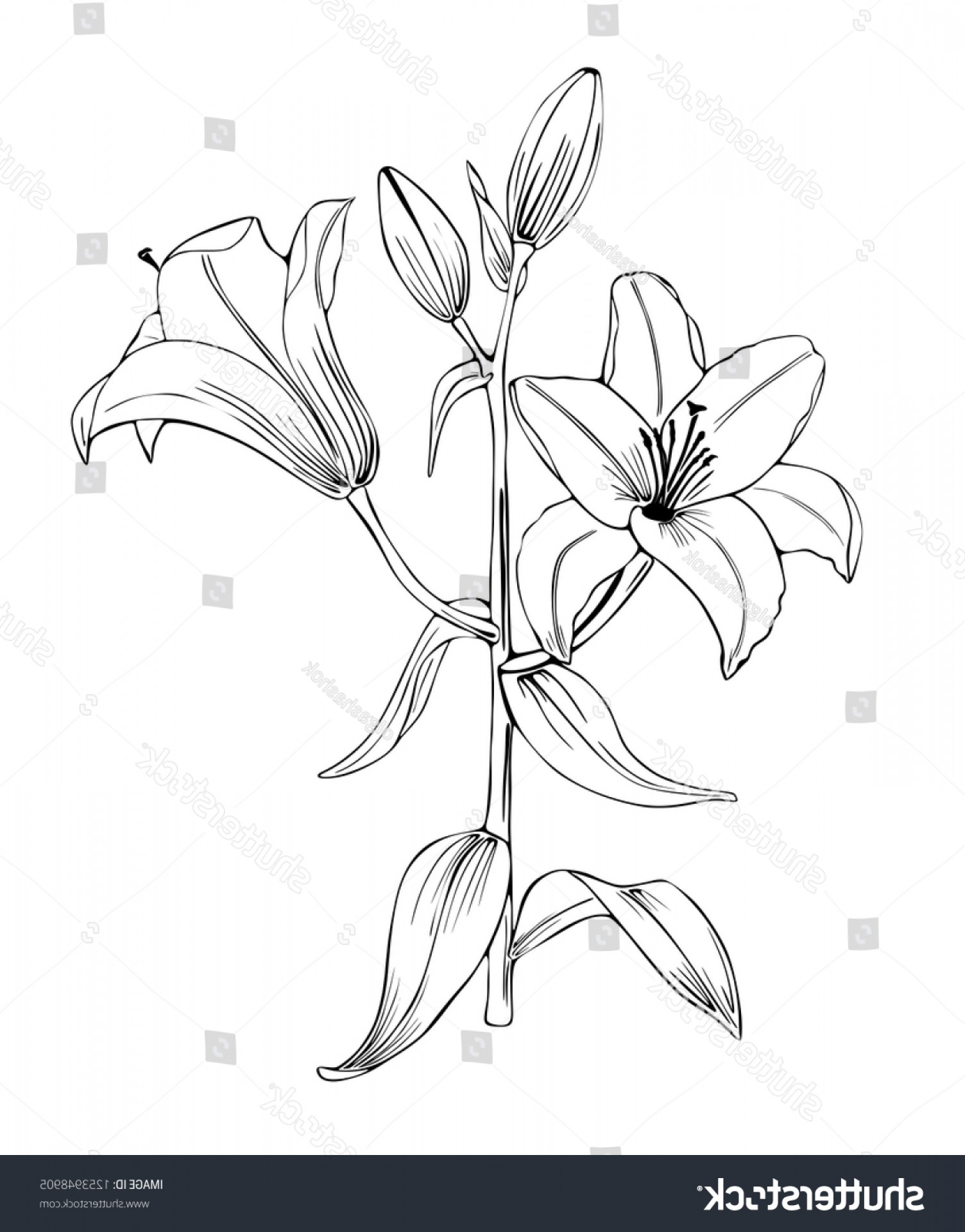 Lily Vector Art: Lily Flowers Black White Vector Art
