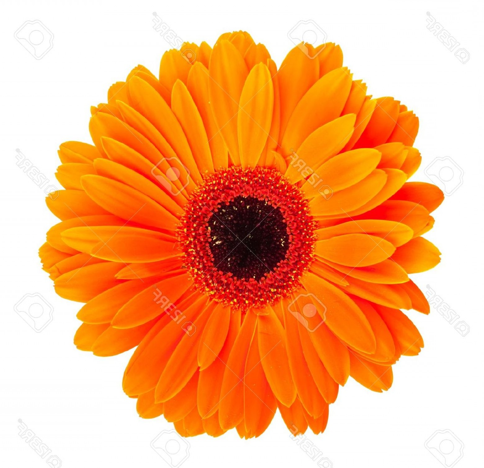 Orange Gerber Daisy Vector: Lovely Photosingle Orange Gerbera Flower Isolated On White Background