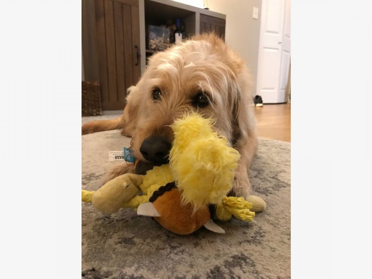 Goldendoodle Vector SVG: Lucy Year Old Labradoodle Looking Morris Co Home
