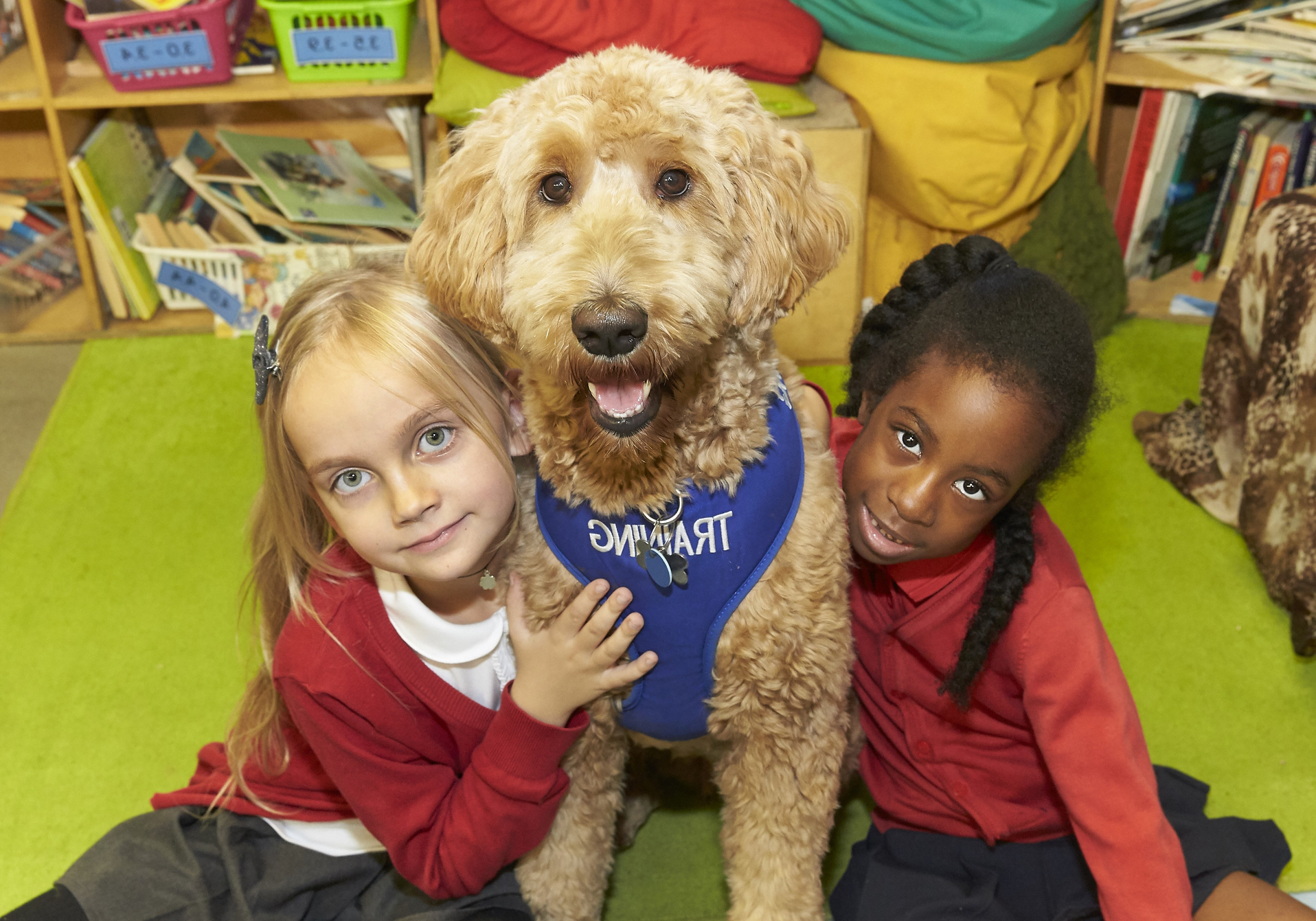Goldendoodle Vector SVG: Luna The Golden Retriever Poodle Cross To Join Rotherhithe Primary School As Autism Therapy Dog