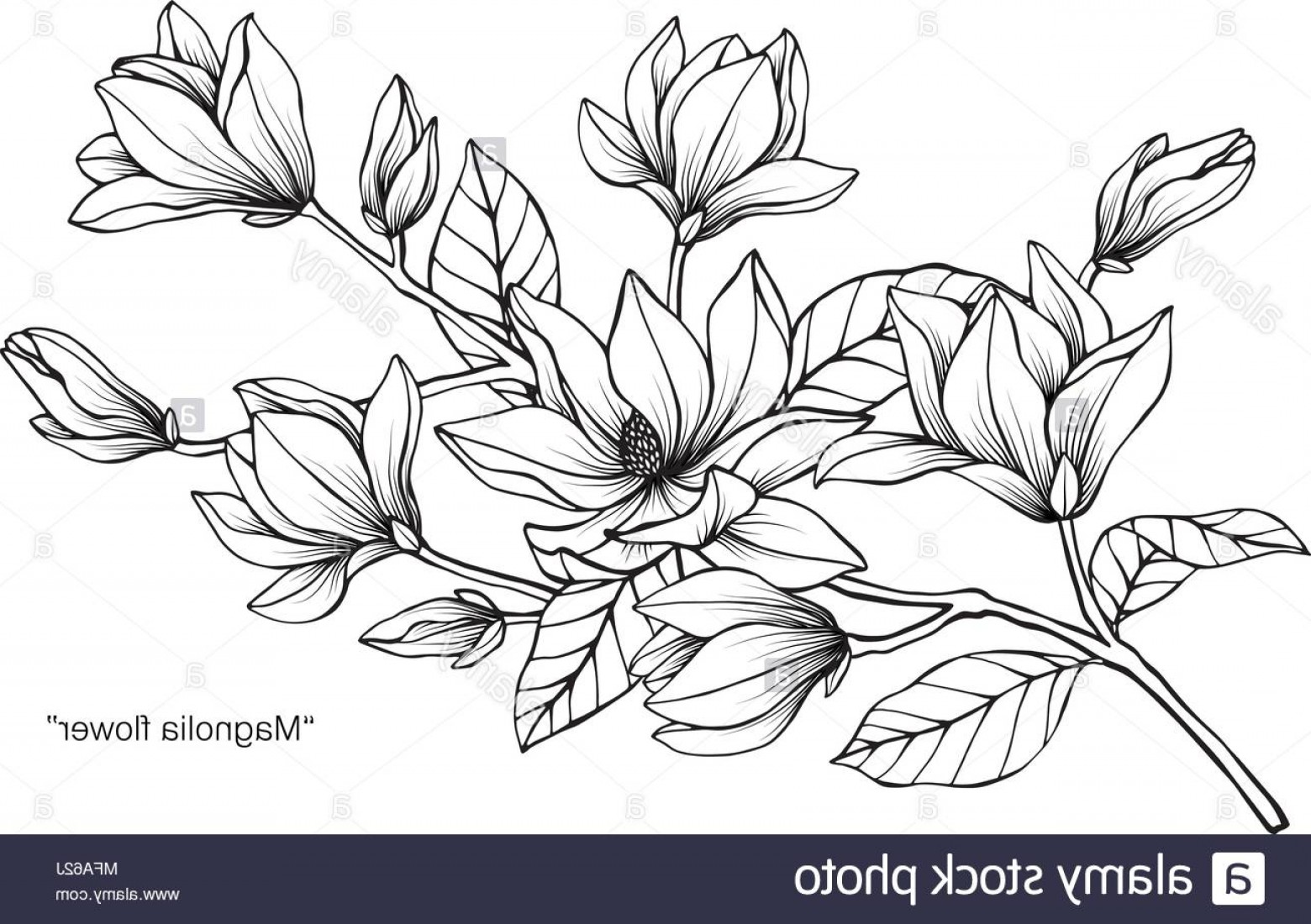 Magnolia Black And White Vector: Magnolia Flower Drawing Illustration Black And White With Line Art On White Backgrounds Image