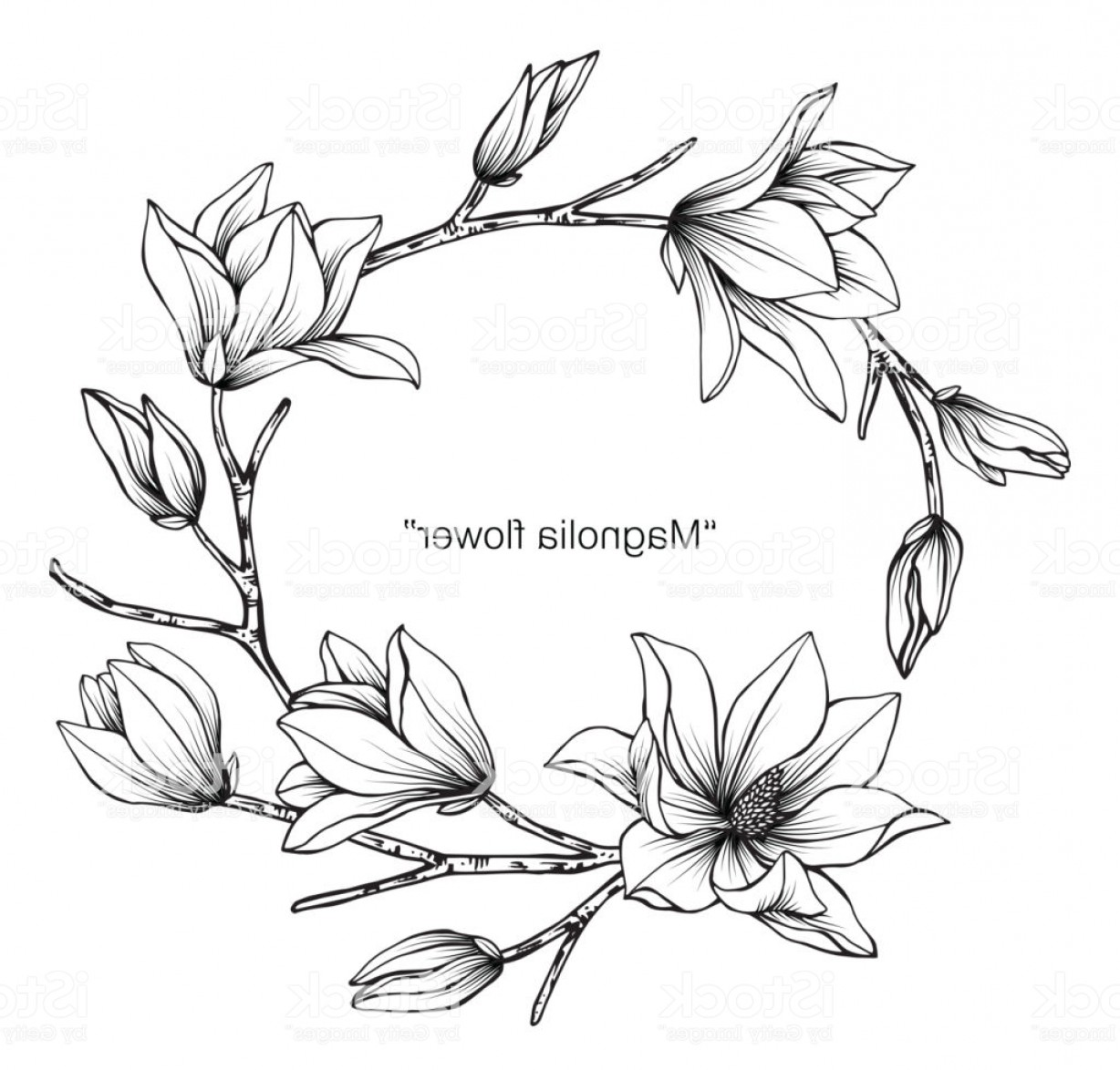 Magnolia Black And White Vector: Magnolia Flower Drawing Illustration Black And White With Line Art On White Gm