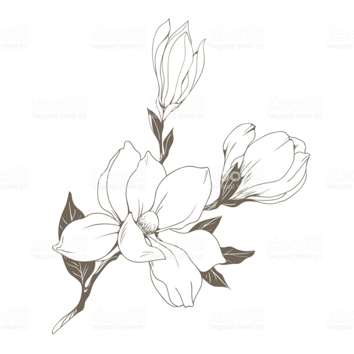 Magnolia Black And White Vector: Magnolia Flowers And Buds On White Vector Illustration Gm
