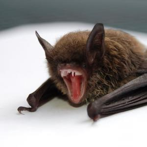 Vector Animals For Rabies: Man In Utah Dies From Rabies From A Bat