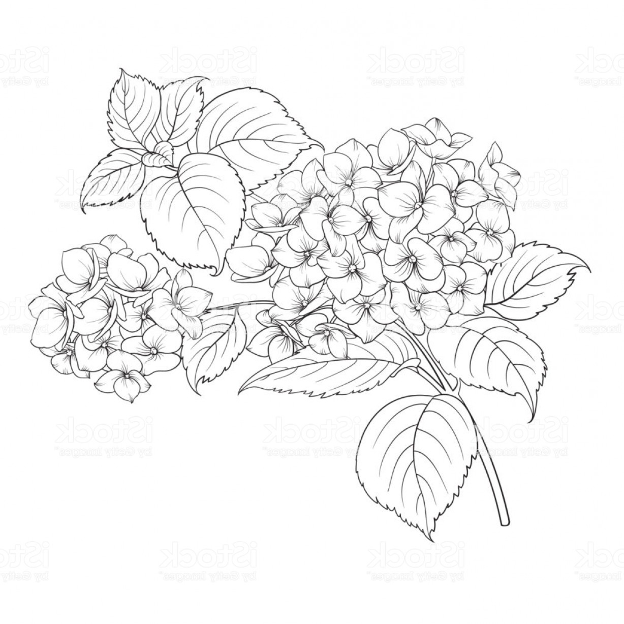 Vector Mop Flower: Mop Head Of Hydrangea Flower Isolated Over White Gm