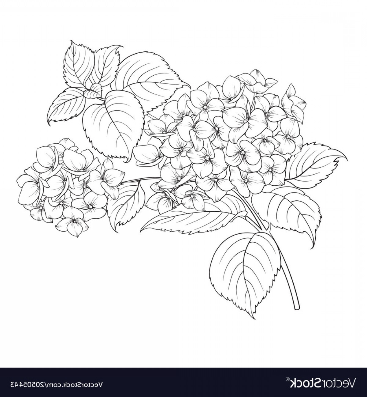 Vector Mop Flower: Mop Head Of Hydrangea Flower Isolated Over White Vector