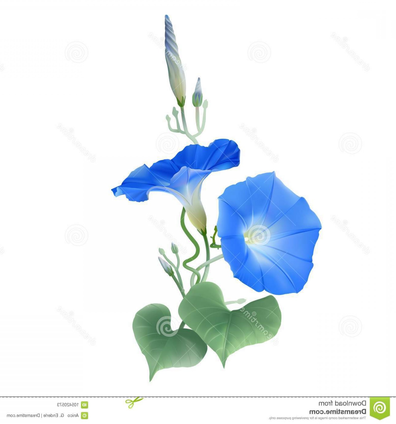 Morning Glory Transparent Vector: Morning Glory Heavenly Blue Flowers Buds Twisted Vines Ipomoea Tricolor Hand Drawn Vector Illustration Transparent Image