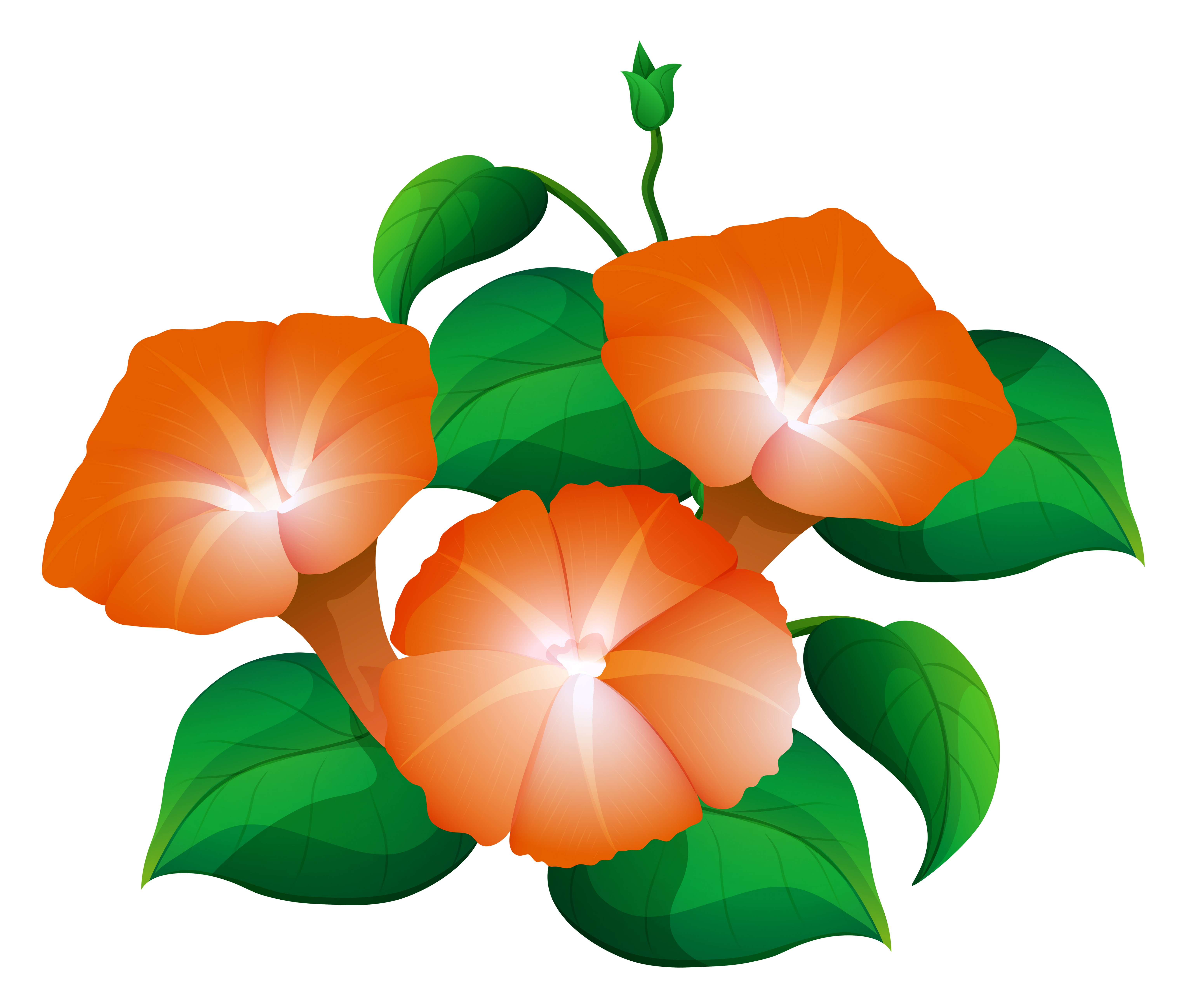 Morning Glory Transparent Vector: Morning Glory In Orange Color