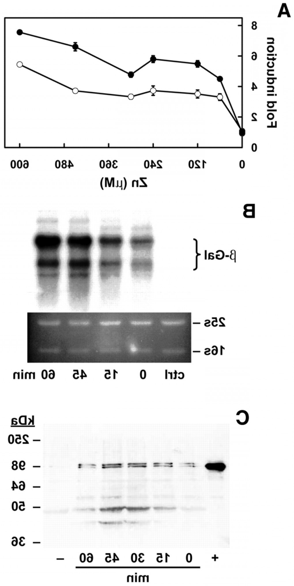 Episomal Expression Vector: Mouse Mtf Expressed In Yeast Activates Mre Driven B Galactosidase Gene Expression Infig