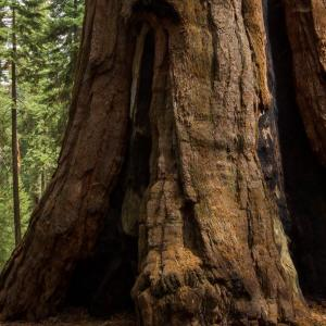 Vector Giant Sequoia: Moco Timelapse Tracking Shot Of Giant Sequoia Trunk Zoom Out Smtuaqlizqijq