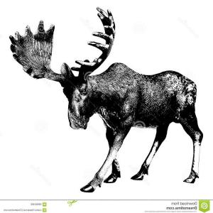 Moose Skull Vector: Moose Vector Clipart Moose Drawing Elk Xvam