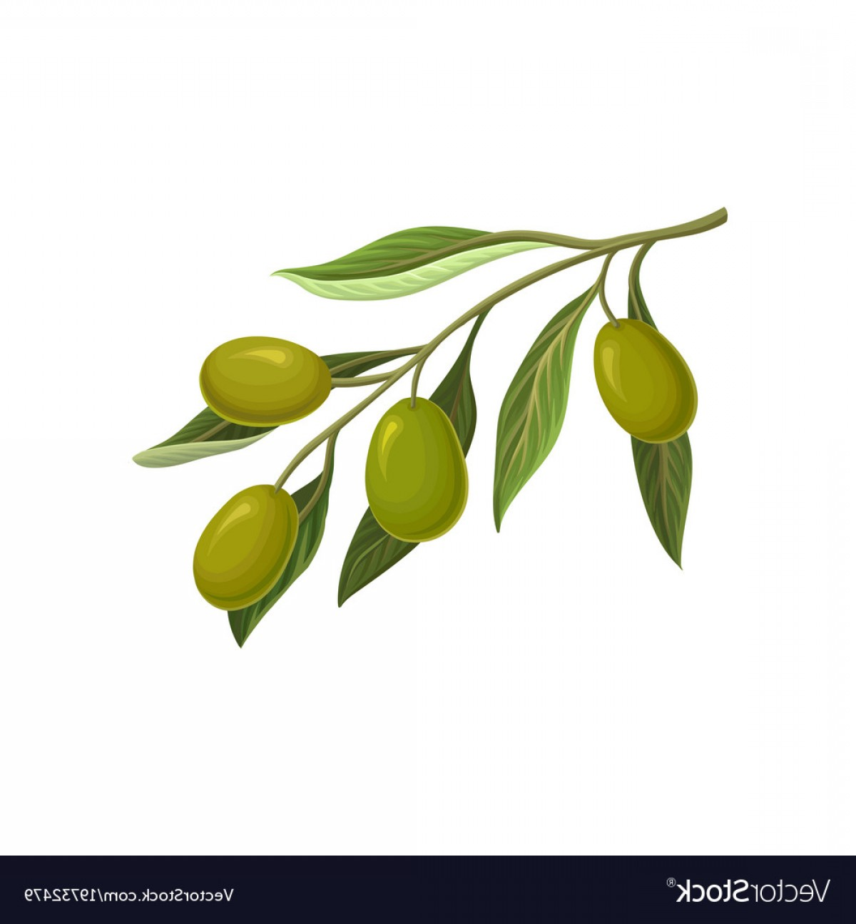 Olive Vector: Olive Branch With Green Olives Vector