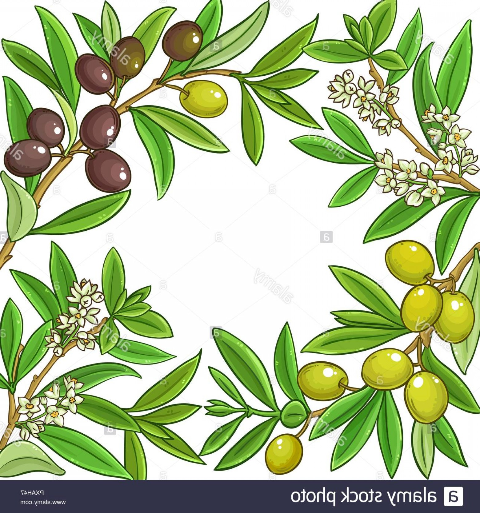 Olive Vector: Olive Vector Frame On White Background Image