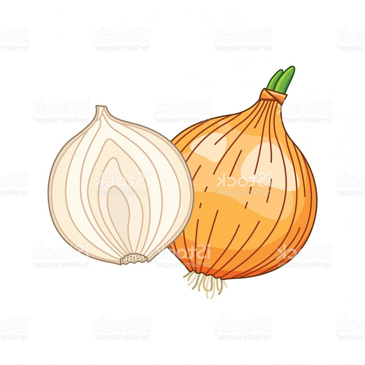 Onion Vector: Onion Vector Colored Botanical Illustration Gm