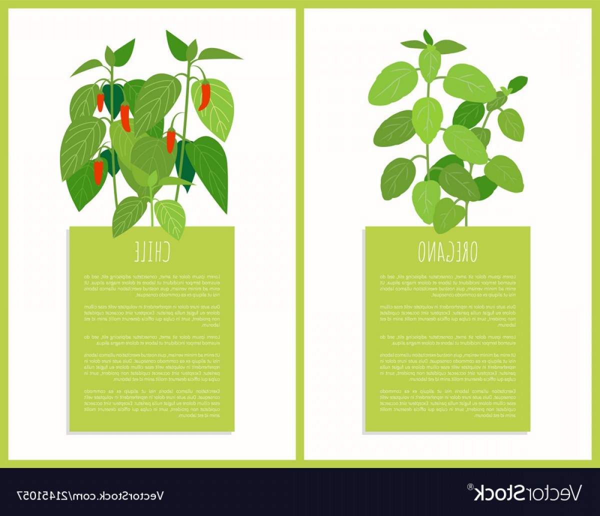 Plant Cards Vector: Oregano And Chile Plants Isolated Cards Vector