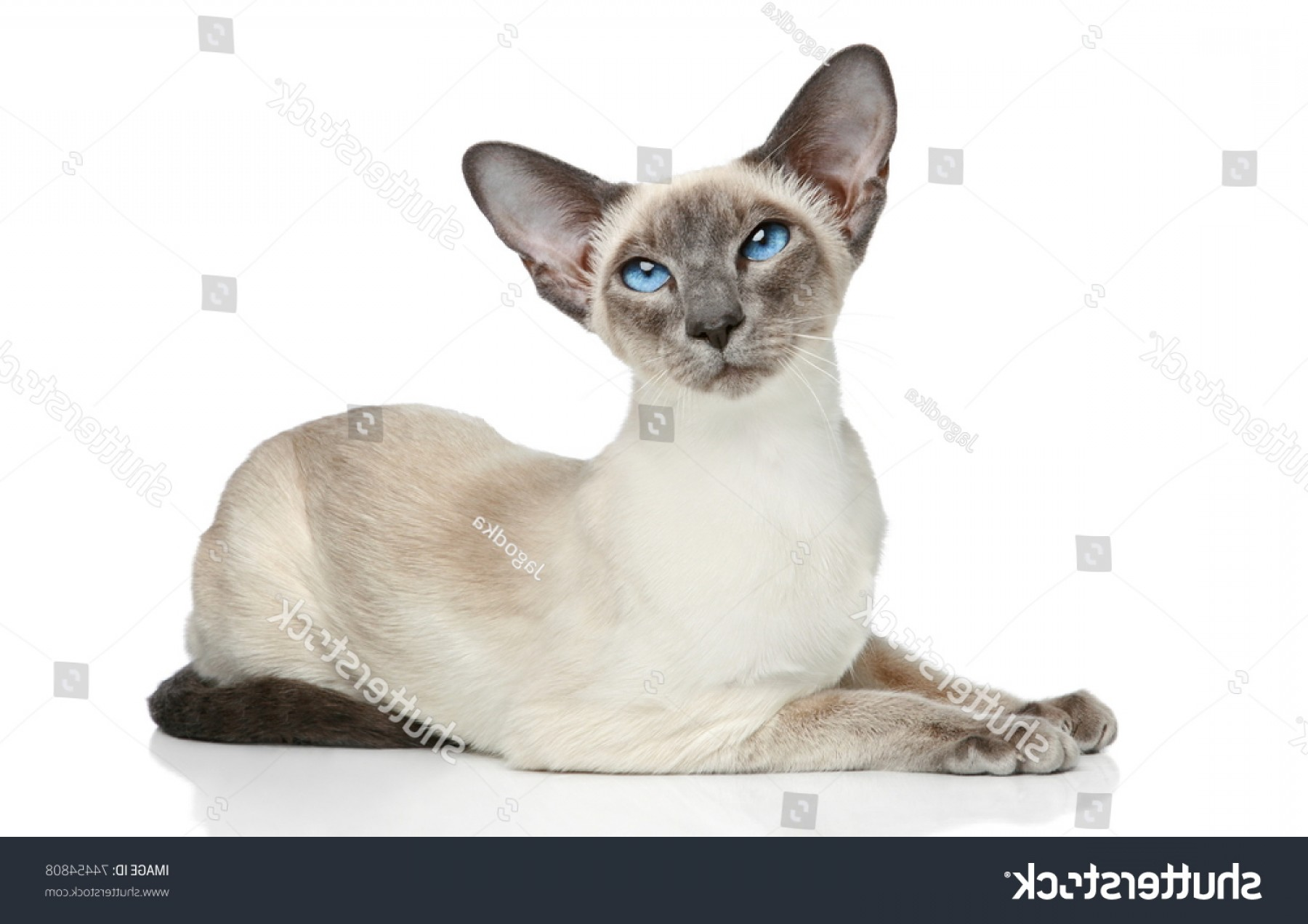 Siamese Cat Vector Transparent Background: Oriental Bluepoint Siamese Cat Posing On