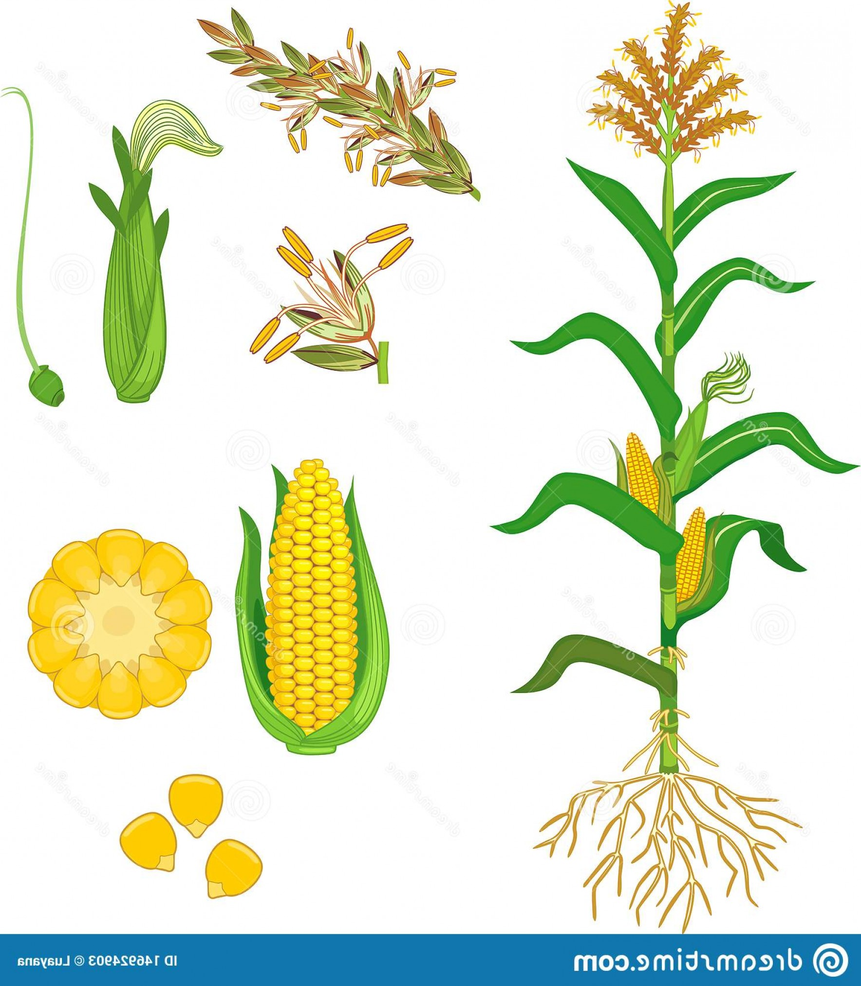 Maize Vector Tree: Parts Plant Morphology Corn Maize Green Leaves Root System Fruits Flowers Isolated White Background Image
