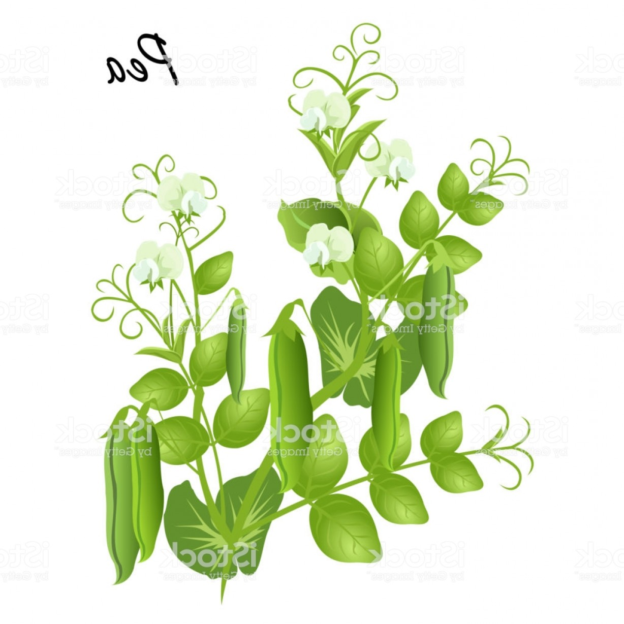 Seed Flower Vectors: Pea Plant With Flowers And Seed Pods Vector Illustration Gm