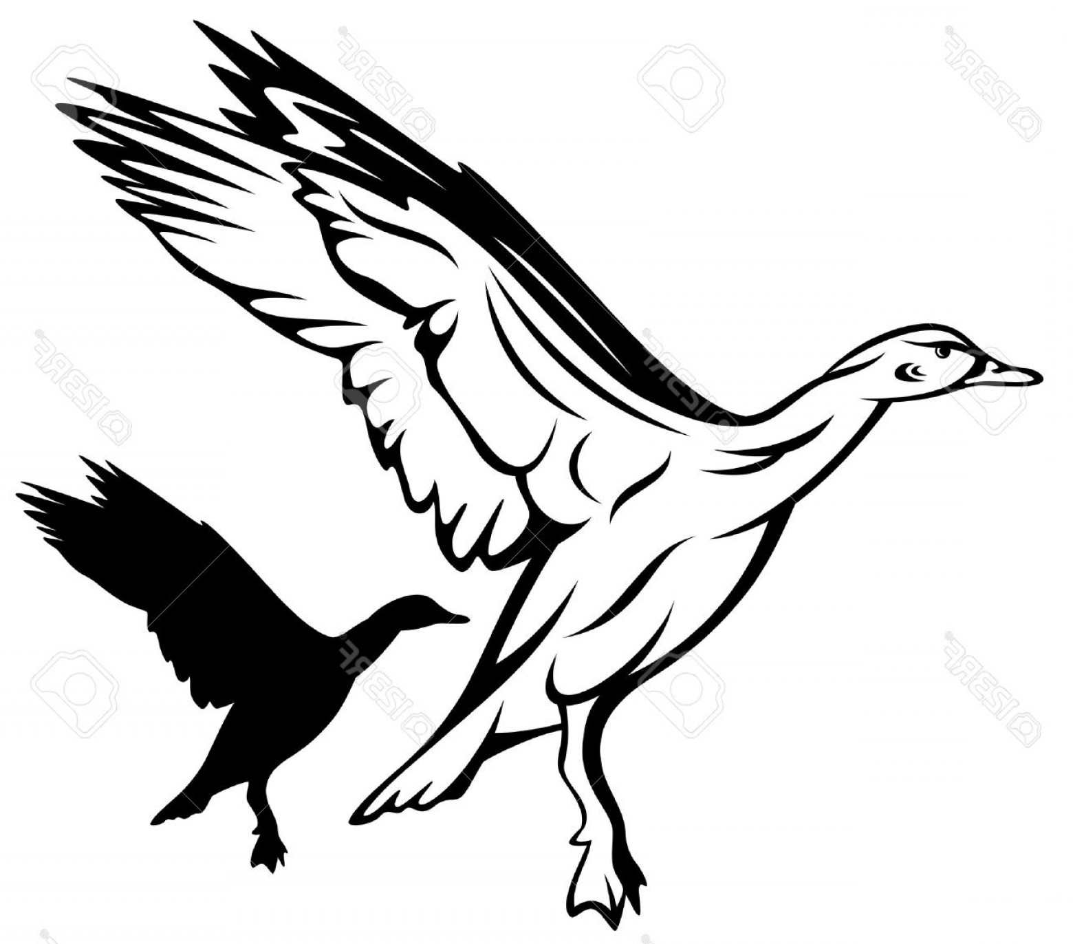 Flying Duck Outline Vector: Photoflying Duck Vector Illustration Black And White Outline