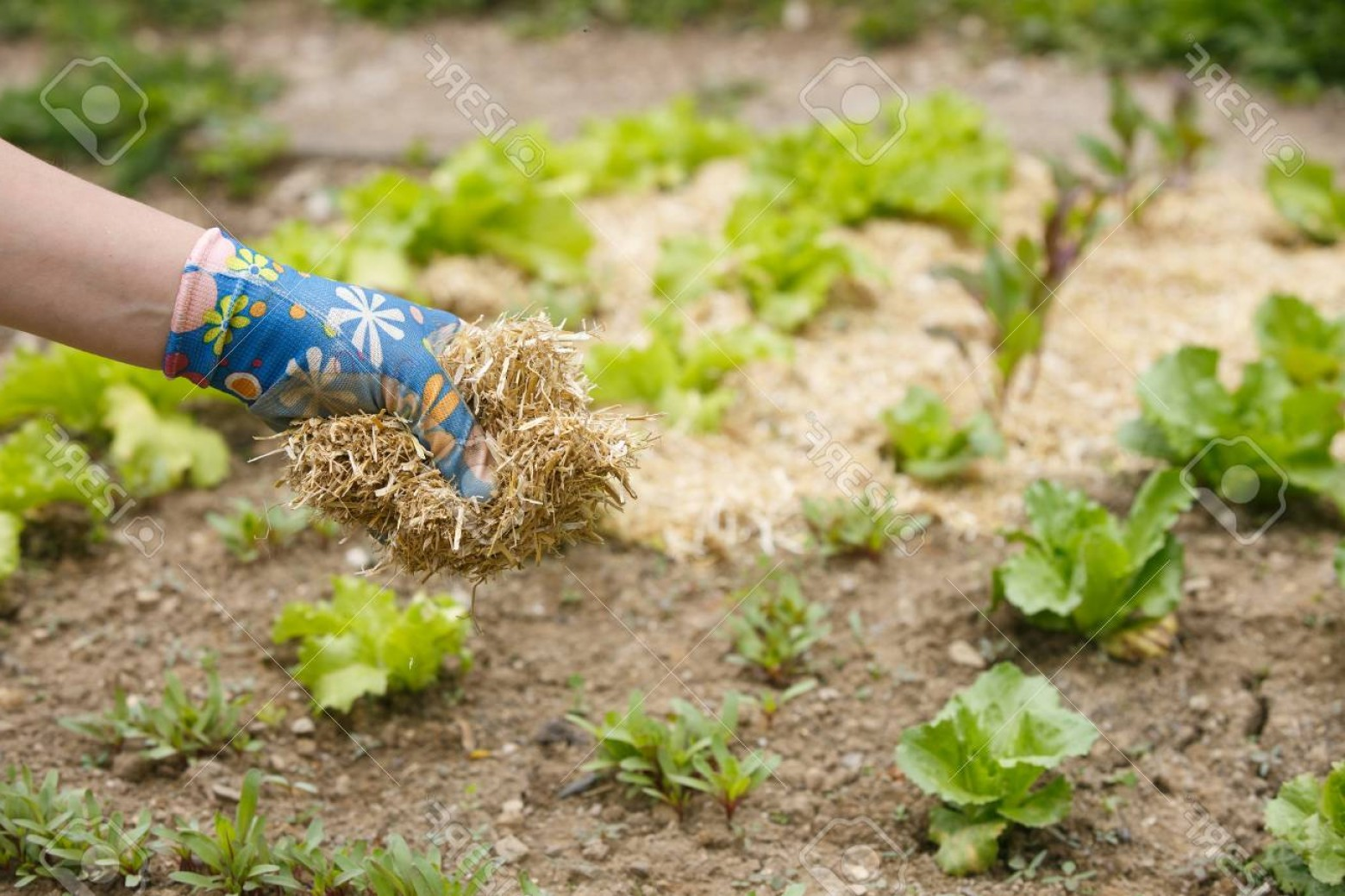 Vector 300 Fertilizer Spreading: Photogardener Spreading A Straw Mulch Around Planted Seedlings To Fertilize And Protect It From The Droug