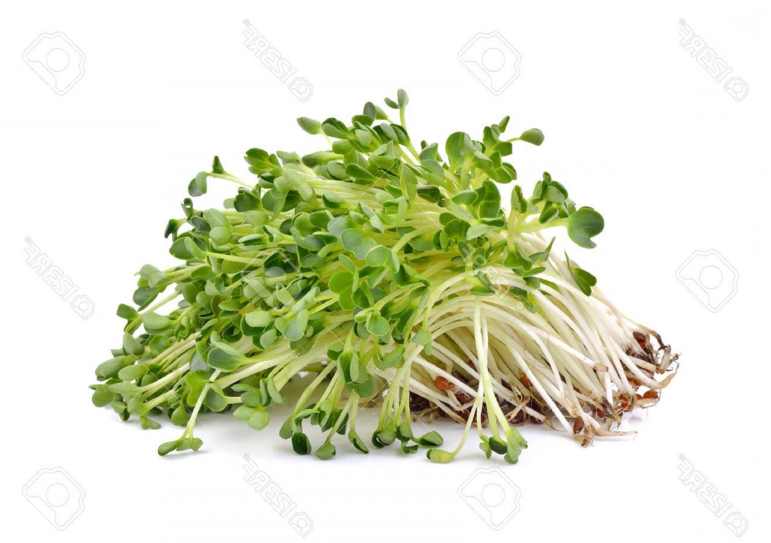 Alfalfa Sprouts Vector: Photoheap Of Alfalfa Sprouts On White Background