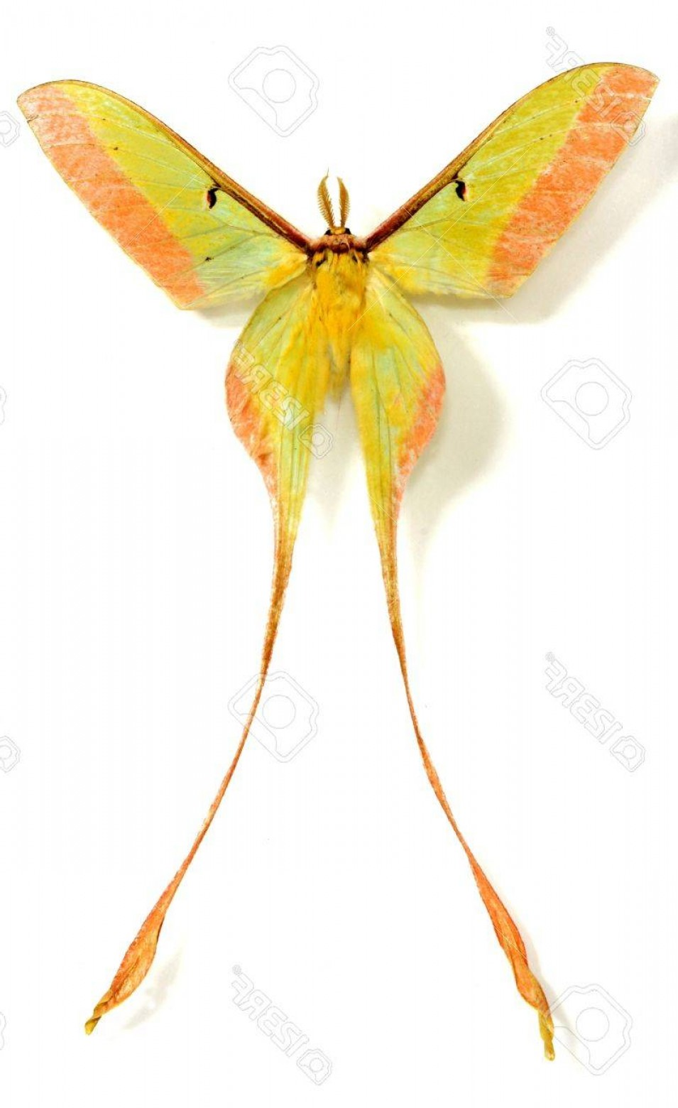 Vector Luna Moth: Photolong Tail Luna Moth Isolated In White Background